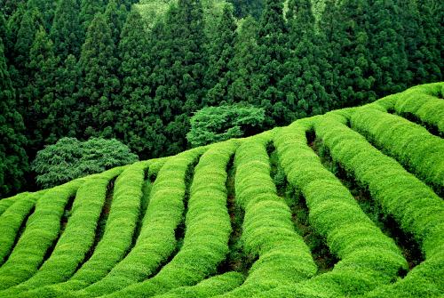 japanese-tea-plantation_resize_w500