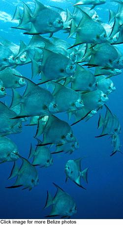 Belizefish1