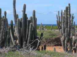 Curacao_cacti